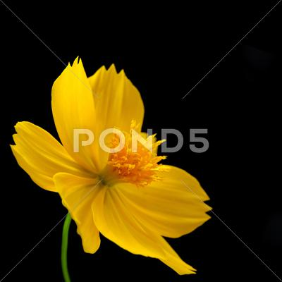 Stock photo of chrysanthemum