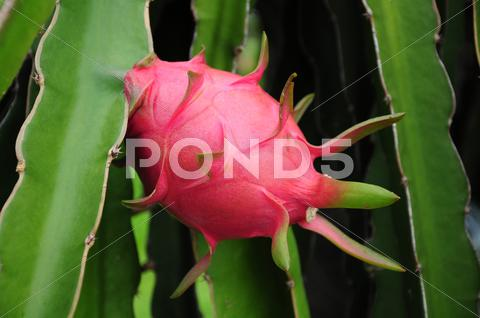 Stock photo of dragon fruit