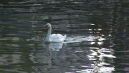 Single Swan in canal Stock Footage