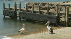 A pair of Pelicans in Kiama, Australia Stock Footage