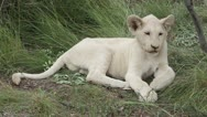 White lion cub relaxing Stock Footage