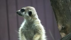 Meerkat on lookout Stock Footage