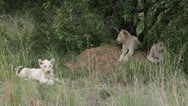 Three white lion cubs in the wild. Stock Footage