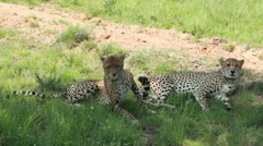 Two cheetahs lying in the shade Stock Footage