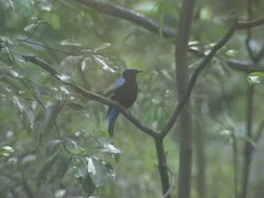 Asian Fairy-bluebird (Irena puella) Stock Footage