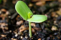 Sprout of umbrella thorn acacia Stock Photos