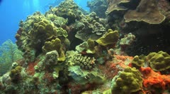 Coral reef Bonaire Caribbean, Coral scene 1 w divers Stock Footage
