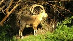 Nubian ibex.mp4 Stock Footage