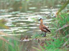 Ducks with grass Stock Photos