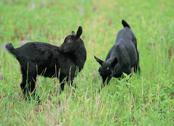Goat on ground Stock Photos