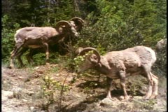 Jasper National Park, Alberta, Canada, two big horn sheep, rams, nibbling Stock Footage