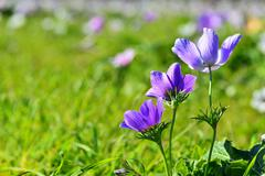 Stock Photo of three purple coronaria