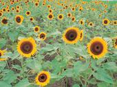 Sunflowers on ground Stock Photos
