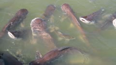 Cattfish feeding Stock Footage
