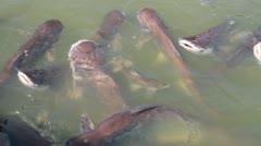 Cattfish feeding Stock Footage