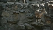 Mountain goat in the zoo Stock Footage