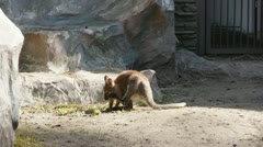 Red Kangaroo in the zoo Stock Footage
