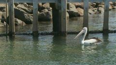 Wild Pelican in Kiama, Australia (5) Stock Footage