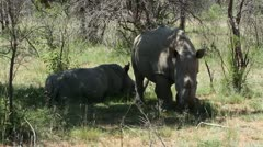 White rhino resting in the heat of the day Stock Footage