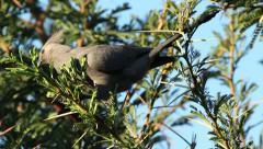 Grey loerie eating leaves Stock Footage