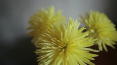 Yellow chrysanthemum - stock footage