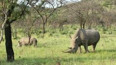 Two white rhino grazing Stock Footage