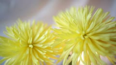 Yellow chrysanthemum Stock Footage