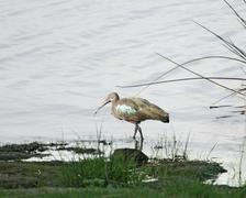 waterside scenery with hadada ibis - stock photo