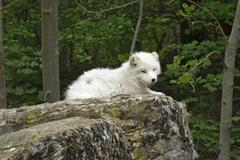 Arctic fox resting on rock formation Stock Photos