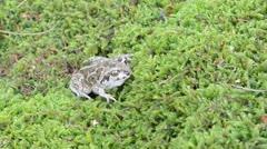 Closeup garlic spadefoot toad pelobates fuscus moss Stock Footage