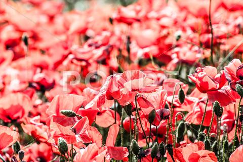 Stock photo of corn poppies (papaver rhoeas) in a field.