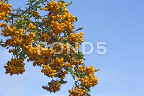 Stock photo of Sea buckthorn berries