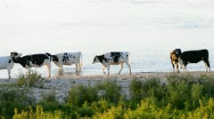 Cattle on the river Stock Footage