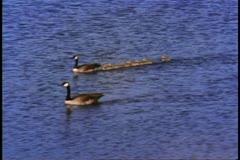 Jasper National Park, Alberta, Canada, ducks in a row Stock Footage