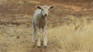 Cute Lamb Looking At The Camera Stock Footage