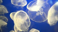 white jellyfish (aurelia aurita or moon jelly) - stock footage