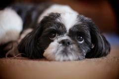Puppy Eyes - stock photo
