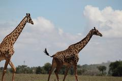 Giraffes in the Masai Mara Stock Photos