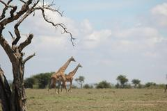 Dead Tree Highlights Passing Giraffe Herd Stock Photos