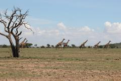 Giraffes in Distance Behind Tree Stock Photos