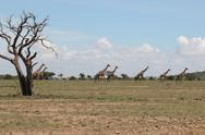Stock Photo of Giraffes in Distance Behind Tree