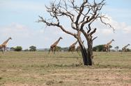 Stock Photo of Giraffes in Masai Mara, Kenya