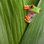 rotaugenlaubfrosch - stock photo