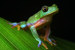 tropical tree frog - stock photo