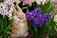 Bunny in spring hyaciths Stock Photos