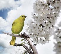 Yellow bird Stock Photos