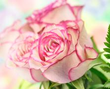 Stock Photo of pink roses