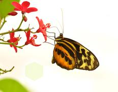 tropical butterfly - stock photo