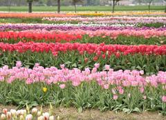 tulips farm - stock photo