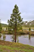 pine tree by the water - stock photo